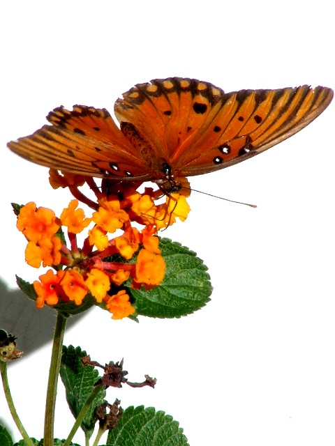 11-3-2005 Butterfly2 Z20.JPG