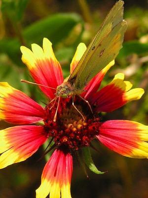 4-2005 Yellow butterfly on Firewheel.JPG