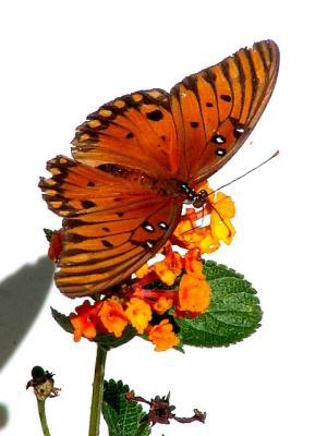 11-3-2005 Butterfly5 Z20.JPG