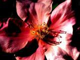 4-2005 Rose2.JPG
