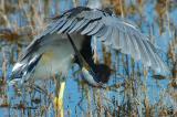 10-6-05 Tri-colored Heron2D70