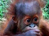 10-8-05 Orangutan2Z20.JPG
