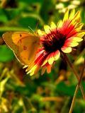 4-26-2005 Butterfly on Firewheel4.JPG