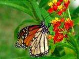 10-6-05 Monarch2Z20.JPG