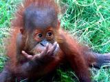 10-8-05 Orangutan Z20.JPG