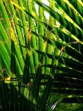 Palm Fronds 3-11-05.JPG
