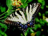 swallowtail4.JPG