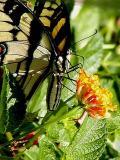 swallowtail4a.JPG