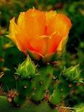 4- 2005  Cactus Flower.JPG