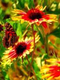 5-2005 Butterfly and Firewheels.JPG