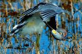 10-6-05 Tri-Colored HeronD70.