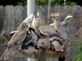 White-winged Dove feeding frenzy 3.JPG