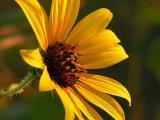 7-23-05 Sunflower NB.JPG