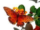 11-3-2005 Butterfly1Z20.JPG