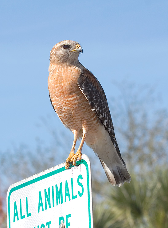 Red-shouldered Hawk Perched on Sign
