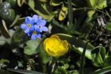 Forget me not and yellow friend