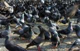 Thousand pigeon.jpg