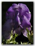 Monkshood or Wolfbane (Aconitum)