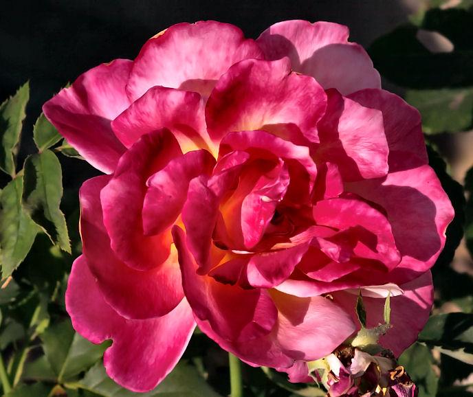 sep 9 rose