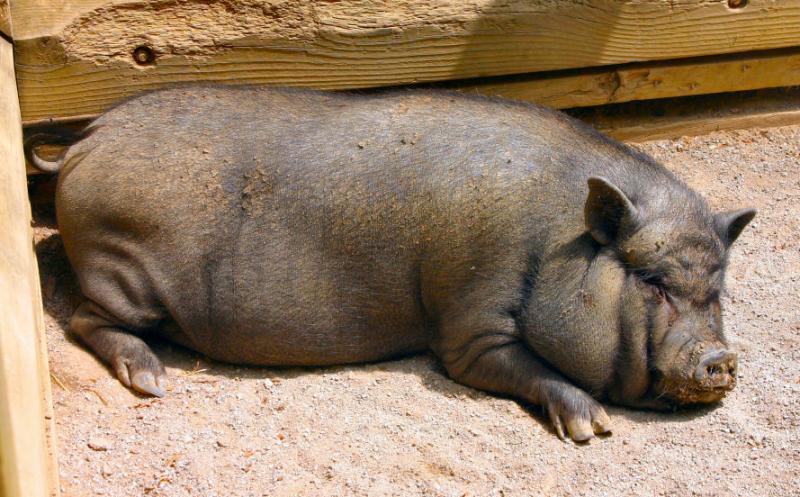 july 4 piggy