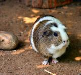 july 4 guinnea pig