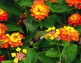 Humming Bird Hawk Moth on Lantana