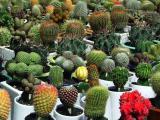Cacti A-plenty