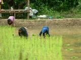 Planting the Paddy
