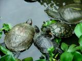 Temple Turtles