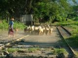 Goats Go Home