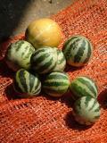 Li'l Pumpkins