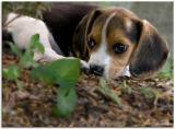 Beagle-pup_D2X_2913.jpg