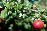 apple7.jpg