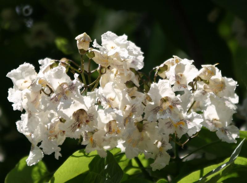 Catalpa Tree Blossoms