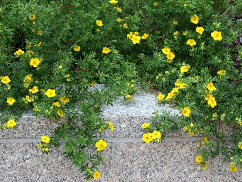 Potentilla NYU Law School Gardens