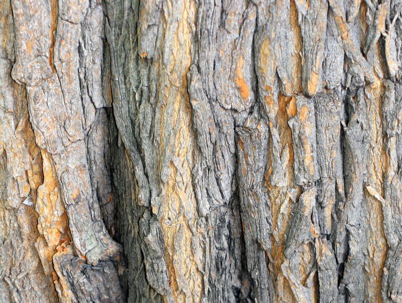 Osage Orange Tree Bark