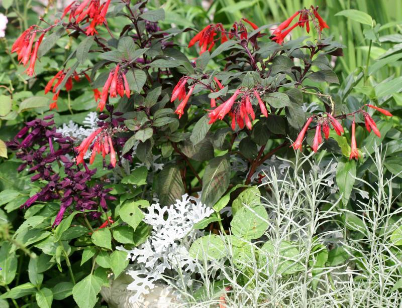 Garden View - Fuchsia, Salvia, Senecio & Cumin