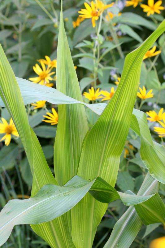 Corn Foliage and Daisies