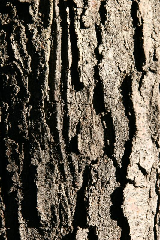 Locust Tree Bark