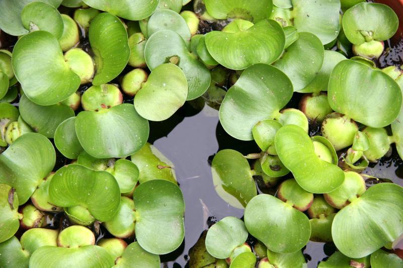 Eichornia crassipes - Water Hyacinth