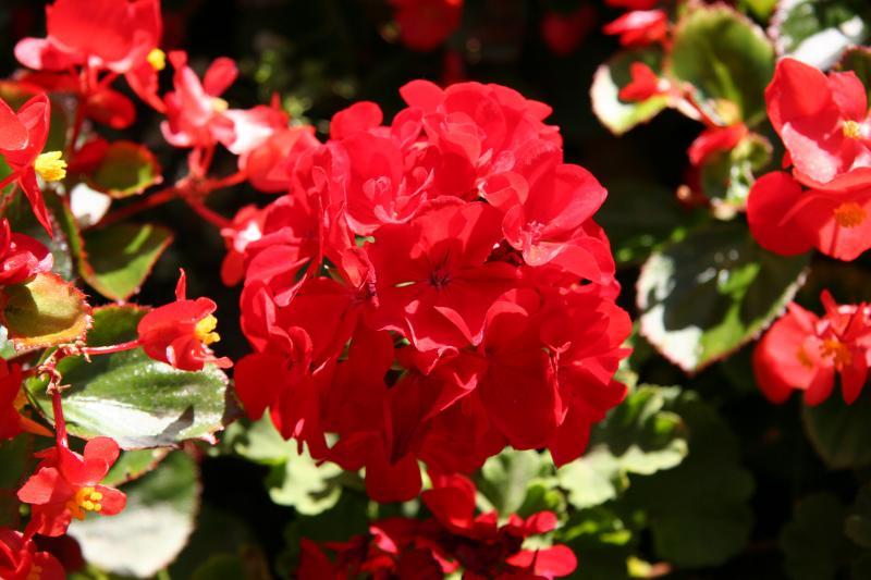 Red Geranium - St Marks Church Garden