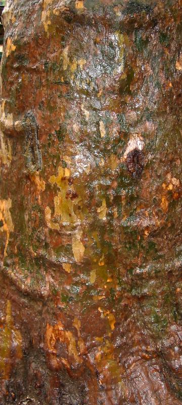 London Plane Tree Bark