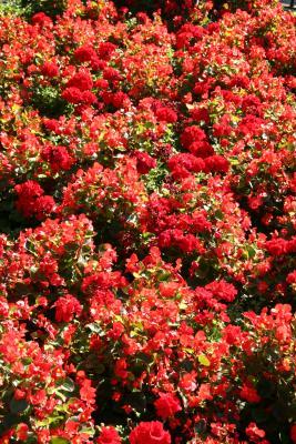 Begonias & Geraniums - St Marks Church Garden