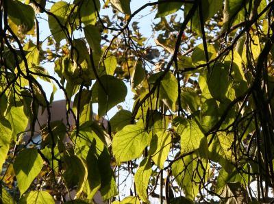Catalpa Tree Foliage
