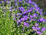 Lobelia & Unknown Grass Flower