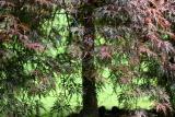 Red Leaf Maple Tree
