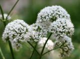 Valerian Cloud Puff Blossoms