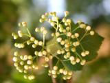 Hawthorne Tree Blossom Buds