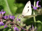 Cabbage Butterfly on a Salvia Blossom