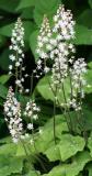 Tiarella cordifolia - Foamflower